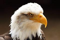 Bald Eagle 1S9A3150 (saundersfay) Tags: hawks saker falcon sea eagle vultures secretary owls prey predator black kites