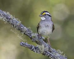 White-throated Sparrow (Bill McDonald 2016) Tags: sparrow spring 2018 wwwtekfxca ontario perched perching billmcdonald whitethroated june forest cute bird avian