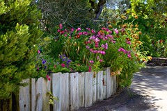 Nostalgia (Christina's World-) Tags: fence flowers road bushes pinkflowers neighborhood nostalgia artistic impressionism shadows green garden botanicgarden sunny textures painterly white brightcolors california colorful sandiego scenic unitedstates digitalart landscape outdoor plants street trees light countryroad