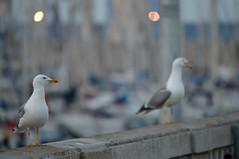 Gabians à Sète (Michel Seguret Thanks for 15 M views !!!) Tags: france nature occitanie michelseguret nikon d800 pro sete herault port harbour haven hafen oiseau bird vogel gabian gabbiano goeland leucophée