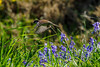 Lossie-180527-5274935.jpg (mike_reid.5710) Tags: morayfirth sparrow lossie scotland wildlife birds lossiemouth