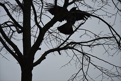 The raven (angelsgermain) Tags: raven crow bird wings tail head beak plumage tree branches sky silhouette black berlin deutschland germany