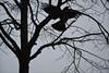 The raven (angelsgermain) Tags: raven crow bird wings tail head beak plumage tree branches sky silhouette black berlin deutschland germany