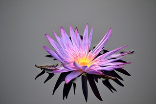 Purple water lily and its shadow