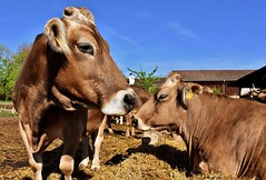 Cow (Empowermentalist1) Tags: nature fauna farm animal cow cattle color colors colorful