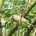 Greenfinch P1730183 thumbnail