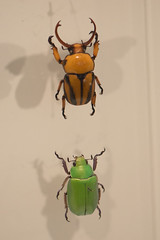 Two beetles with bite (quinet) Tags: 2017 canada ontario rom royalontariomuseum toronto museum musée naturalhistory 124