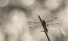 Libellen - Vierfleck (Libellula quadrimaculata) - Ruheplatz (Pana53) Tags: photographedbypana53 pana53 naturfoto makro insekten libellen kopula libellulaquadrimaculata vierfleck paarung bokeh groslibellen nikon nikond500