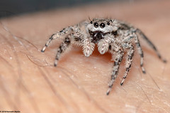PlatycryptusUndatus_Female_May302018_002 (Explored) (Kenneth_W_Martin) Tags: platycryptusundatus jumpingspider salticidae spider canon70d ef100mmf28usmmacro macro arachnid