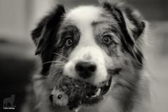 22/52 New Toys! (Jasper's Human) Tags: 52weeksfordogs 52wfd aussie australianshepherd dog zippypaws toy hedgehog play