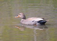 Gadwall (Neal D) Tags: bc surrey crescentbeach blackiespit bird duck gadwall anasstrepera