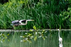 Great blue heron and egret (mayekarulhas) Tags: philadelphia pennsylvania unitedstates us greatblueheron egret johnheinznaturereserve canon canon500mm canon1dxmark2 bird avian wildlife