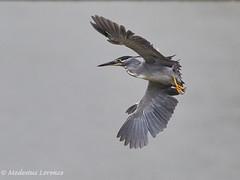 Little Heron (Modestus Lorence) Tags: f56 400mm nature markii 7d canon wildlife singapore heron little