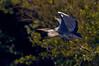 Graureiher / Fischreiher (Ardea cinerea) (Dirk Segl) Tags: reiher bird wildlife nature bif vogel