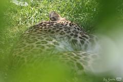 DN9A1256 (Josette Veltman) Tags: beeksebergen hilvarenbeek safaripark masterclass wildlife captivity animals zoo dierentuin nederland 70200mm canon fotofair fotofair2018