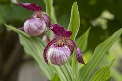 Cypripedium Gisela (ab_orchid) Tags: orchid hybrid native potw