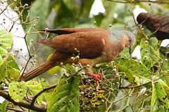 Amboyna Cuckoo-Dove (markus lilje) Tags: slenderbilledcuckoodove macropygiaamboinensis amboynacuckoodove markuslilje bird birds birding png papuanewguinea dove cuckoodove
