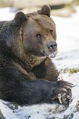 Bear and bone III (Tambako the Jaguar) Tags: bear brown close portrait eating bone food meat tongue lying resting snow winter cold tierparklangenberg willdpark zürich switzerland nikon d5