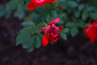 Attempting macro: Decaying Roses