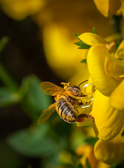 Honey Bee Bottom! (Aranelinya) Tags: scarboroughdistrict england unitedkingdom gb honeybee gorse yellow pollen canon6d canonef70300mml