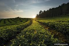 Sun Rising (grant1980:)) Tags: tea plantation sunrise