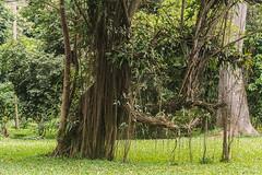ENTRANDO IN UNA RADURA    ----    ENTERING IN A CLEARING (Ezio Donati is ) Tags: natura nature panorama landscape alberi trees erba grass fiori flowers africa costadavorio areayamoussoukro