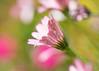 Daisies (mclcbooks) Tags: flower flowers floral macro closeup daisy daisies denverbotanicgardens colorado drops dew