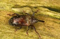 Dorytomus sp. (chug14) Tags: macro insecte unlimitedphotos animalia arthropoda hexapoda insecta coleoptera curculionoidea curculionidae curculioninae ellescini dorytomus
