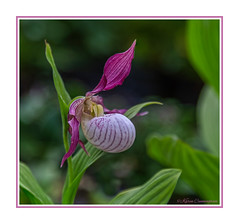 Pink Lady Slipper (hey its k) Tags: 2018 acton flowers losthorizons limehouse ontario canada ca img1230e canon6d orchid pink ladyslipper