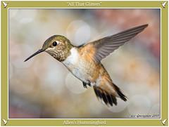 All That Glitters (pandatub) Tags: ebparks ebparksok bird birds hummingbird allenshummingbird ch coyotehills