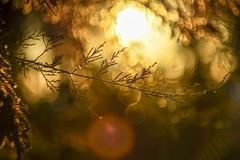 Golden light. (agnieszka.a.morawska) Tags: sun holiday bkhq beyondbokeh bokeh bokehlicious helios helios44m croatia sunny goldensun