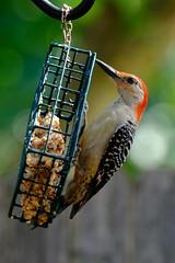 Red-bellied Woodpecker 2 6.9.18 (Gene Ellison) Tags: bird woodpecker feeder