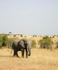 Masai Mara - Kenya 2003 (wietsej) Tags: masai mara kenya 2003 nikon coolpix 4500 elephant animal nature