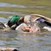 Ducks in love