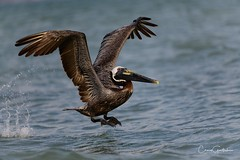 Up and away! (craig goettsch) Tags: sanibel2018 lighthousepark brownpelican bird avian animal wildlife nature nikon d850