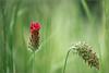 _DSC1706-2 (Des.Nam) Tags: fleur fleurs proxy nikon nikond800 105mmf28 champs desnam nature vert rouge