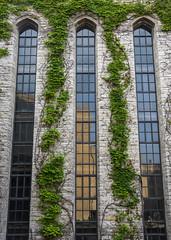 Three Windows (s.d.sea) Tags: pentax k5ii northwestern university evanston illinois nu library windows glass panes ivy symmetry midwest northshore