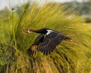 BOTSWANA: SPUR-WINGED GOOSE