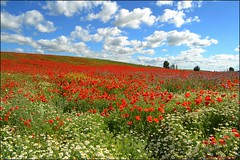 La alfombra roja (Luisa Gila Merino) Tags: amapolas nubes castilla árbol margaritas flores airelibre