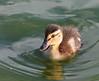 340. Mallard Duckling (1000 Wildlife Photo Challenge) Tags: duck mallard duckling cute cuteness baby babyduck babybird liverpool waterloo crosbymarina