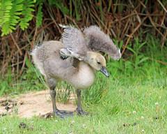 Testing! Testing! (RiverCrouchWalker) Tags: gosling canadagoose brantacanadensis testingtesting june 2018 summer scotneycastle lamberhurst nationaltrust wingwednesday happywingwednesday bird