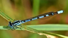 Common blue damselfly (42jph) Tags: 105mm f28g edif afs vr micro lens nikon d7200 macro insect damselfly uk england druridge pools northumberland closeup common blue