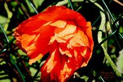 Poppy (Jurek.P) Tags: flowers flower poppies mak macro jurekp spring wiosna sonya77