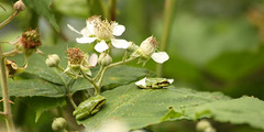 The Young Ones (Wim Zoeteman) Tags: boomkikker hylaarborea ranaarborea europeantreefrog neede wimzoeteman juni june 2018 dambordvlieg sarcophagidae fleshfly braam rubusfruticosus blackberry spring lente