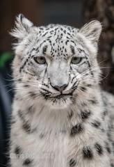 DSC08754 (montusurf) Tags: zoosofnorthamerica snow leopard feline predator henry doorly zoo omaha nebraska portrait cub baby
