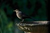 Blackbird Mother (Deepgreen2009) Tags: blackbird mother female thrush bird garden light birdbath wildlife home evening