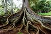 Dino Tree (im me) Tags: hawaii kauai tree moretonbayfig roots allertongarden nationaltropicalbotanicalgarden