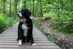 Treading the boards (Captain192) Tags: outwoods theoutwoods woods trees dog dogs collie spaniel spanielcolliecross sprollie bordercollie footpaths paths boardwalks