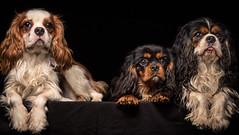 caballeros (Pepenera) Tags: dog dogs cani cane cavalier