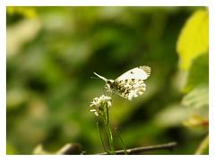 Anthocharis cardamine ♀ (Vulpe Photographie) Tags: macro fleur flower papillon butterfly green anthocharis p900 coolpix nikon france normandie normandy bokeh